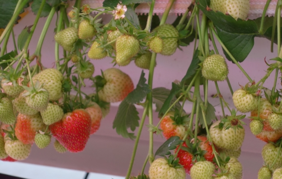 Strawberries growing in a greenhouse