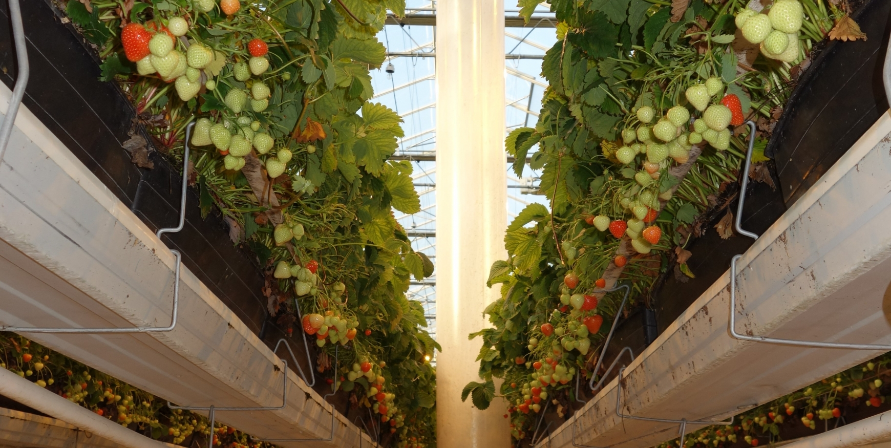 Strawberries growing in a greenhouse with a vertical fan