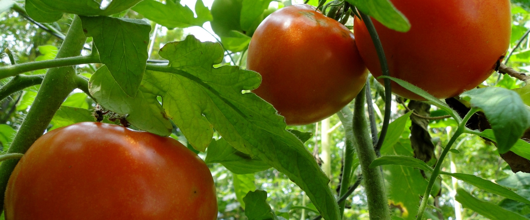 Tomatoes on a vine in a greenhouse